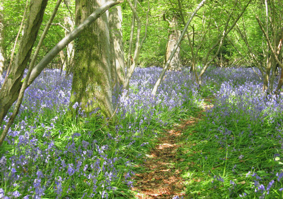 Spring in the New Forest - bluebell woods