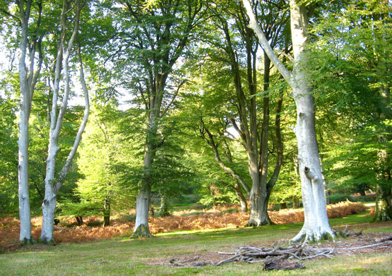 Explore the New Forest from Rhinefield